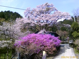 峠の途中で満開の桜(電線が邪魔ですが)
